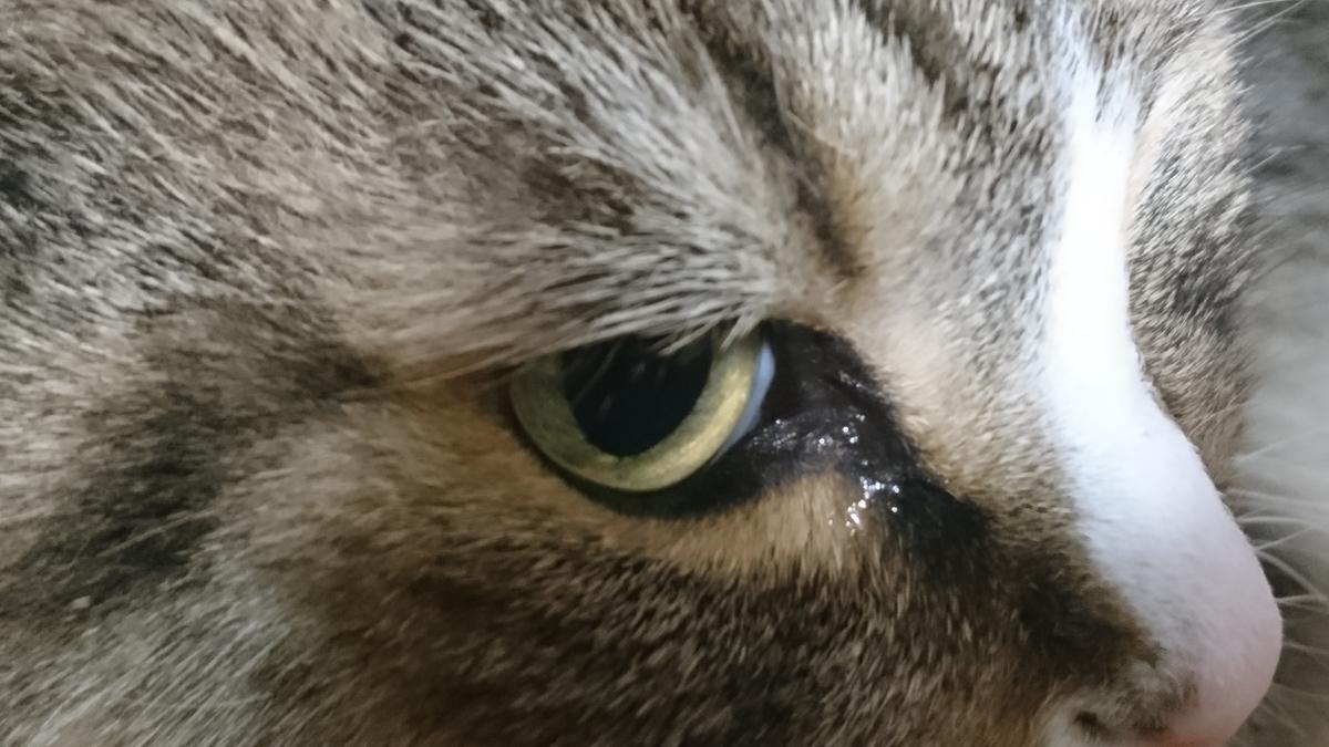鋭い眼光の猫、トト