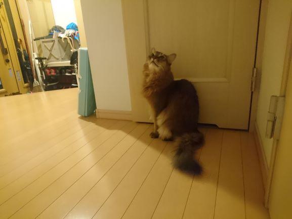 トイレに入れてくれと催促する猫、チー