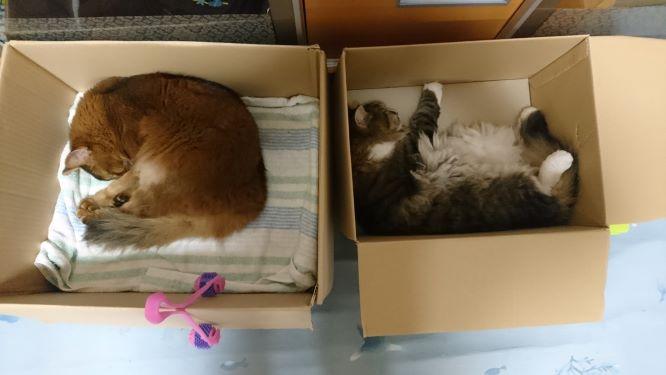 段ボールの中で寝る猫、トトとチー