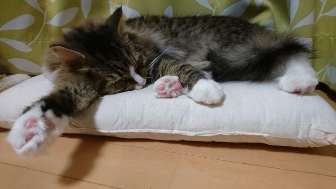 肉球を見せながら寝る猫、トト