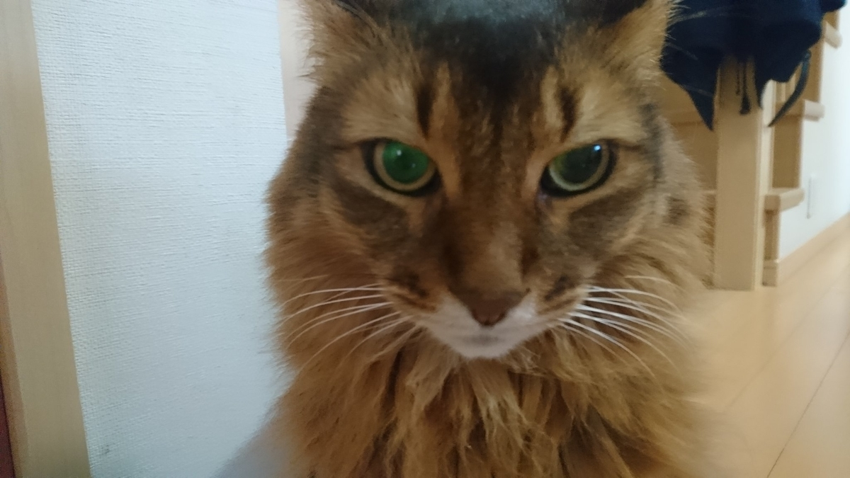 どや顔の猫、チー