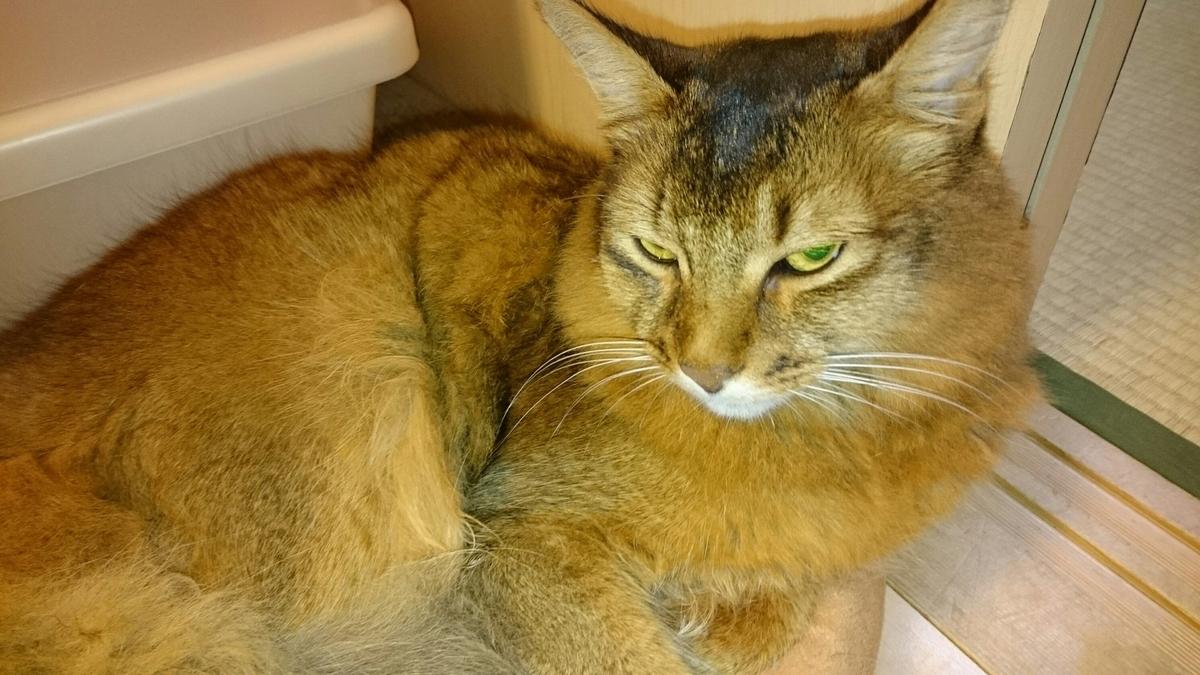 飼主の椅子にうんちをした猫、チー