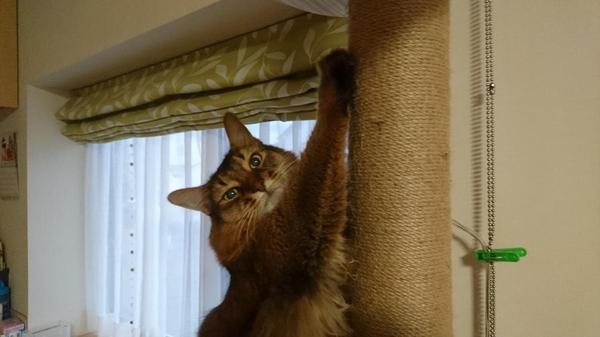 爪とぎをする猫、チー