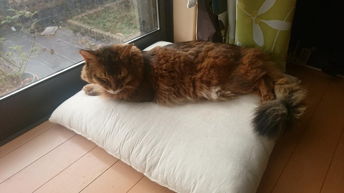 窓辺で寝る猫、チー