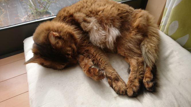 リラックスする猫、チー