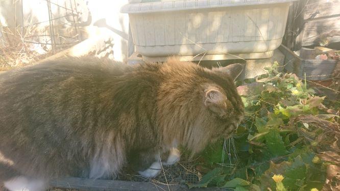 庭掃除に付き合う猫、トト