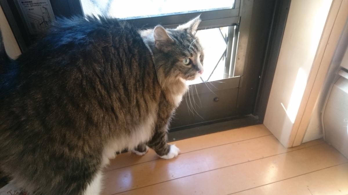 寒いのに外出せアピールがすごい猫、トト