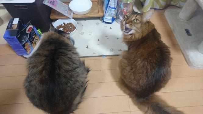 必死にご飯を食べる猫、トトとチー