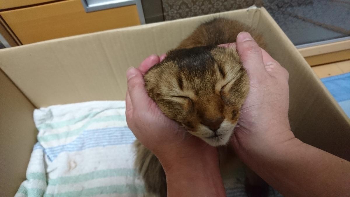 イケメン猫にはマッサージが重要、マッサージされる猫、チー