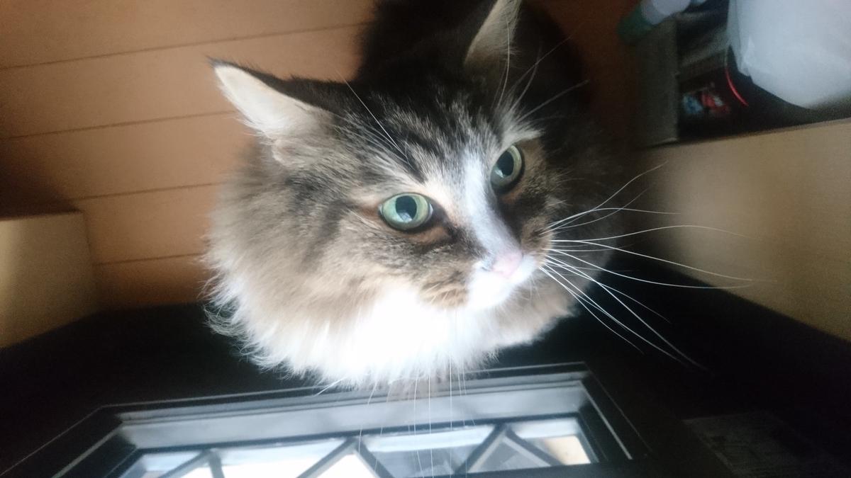 外に出せと要求する猫、トト