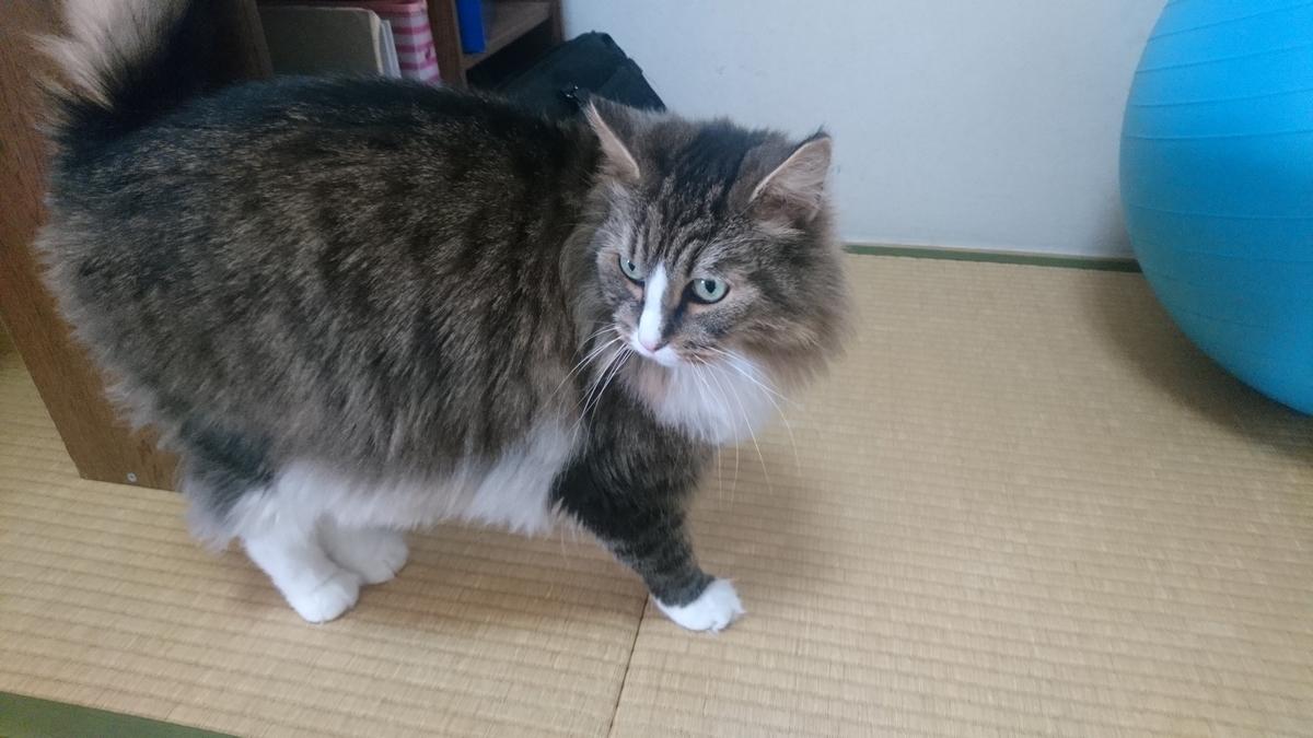 ちゅーるが欲しくて暴れる猫、トト