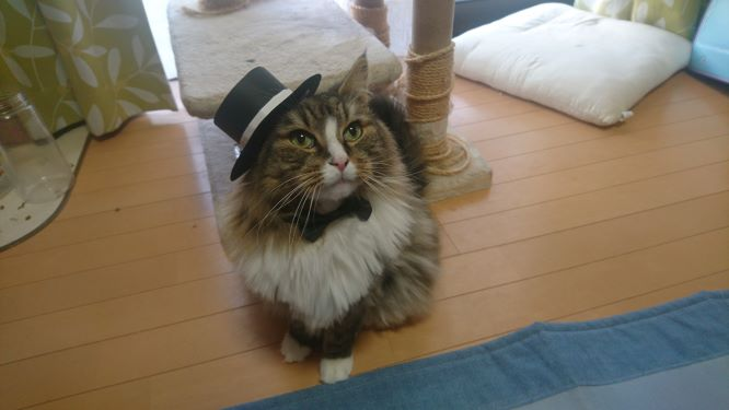 トトの成人式、シルクハットと蝶ネクタイを付けた猫