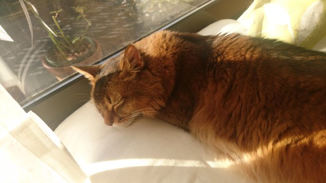 窓辺で日差しを浴びて寝る猫、チー