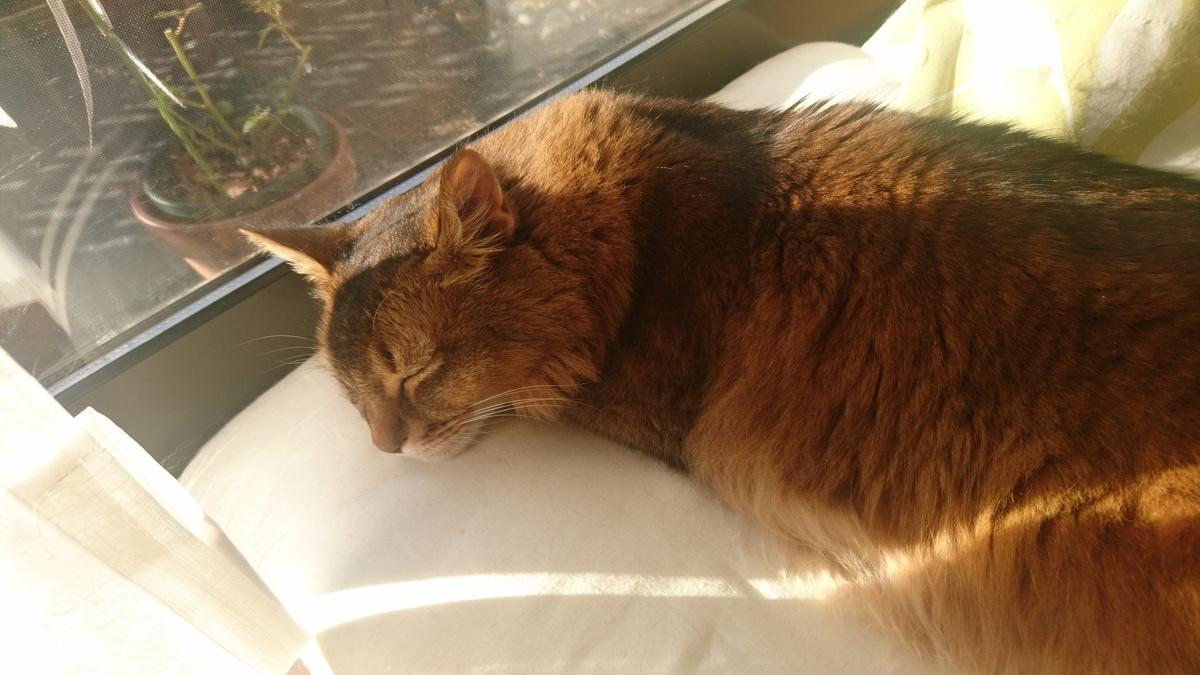 暖かい日差しの中、ぐっすり寝る猫、チー