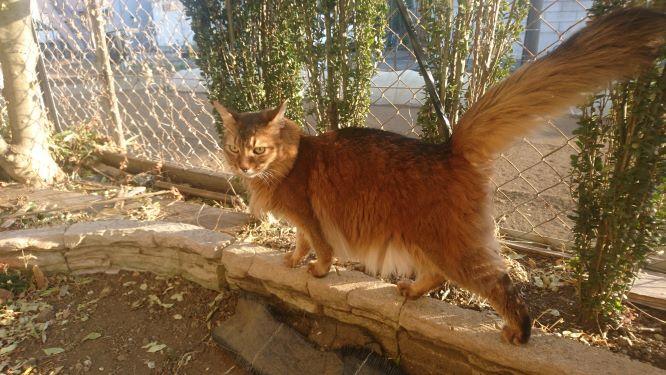 お庭を散歩する猫、チー