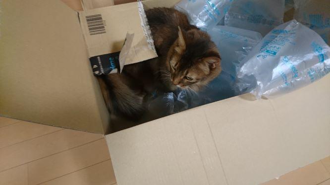 段ボールに突入する猫、チー