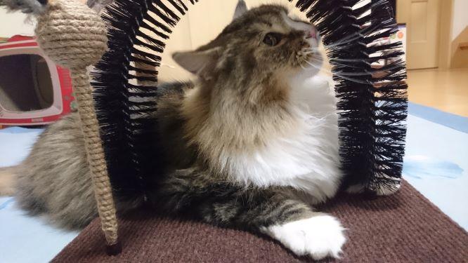 毛づくろいブラシが気になる猫、トトとチー