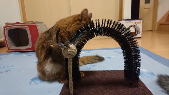 毛づくろいブラシが気になる猫、チー