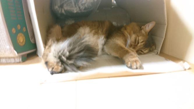 眠気に勝てない猫、チー