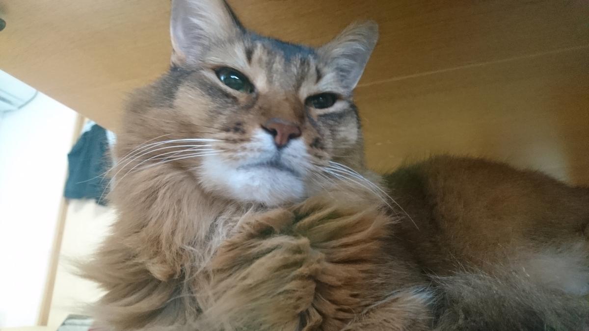 寝ているところを邪魔されて起こされた猫、チー