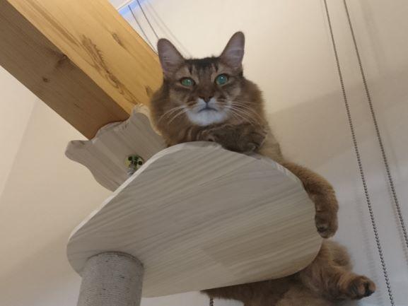キャットタワーで遊ぶ猫、チー
