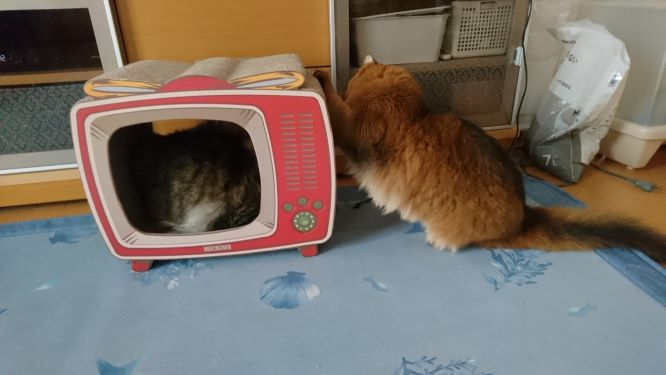 TV爪とぎで遊ぶ猫、チー