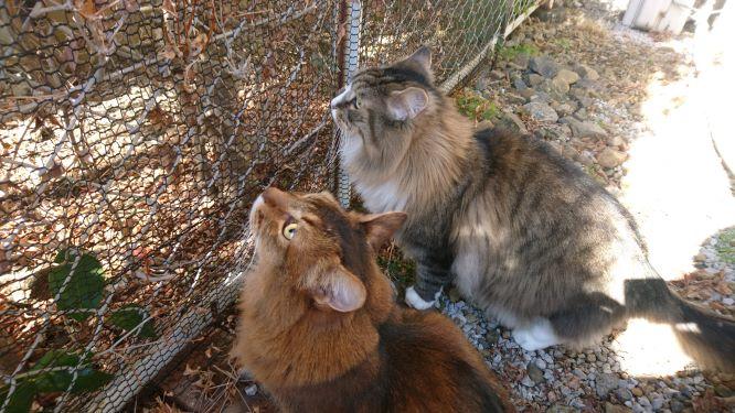 猫とお散歩、トトとチー