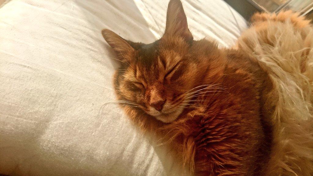 遊び疲れて寝る猫、チー