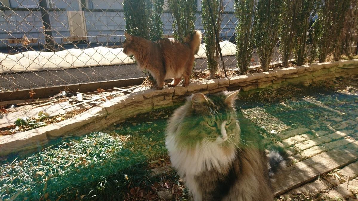 お散歩を楽しむ猫、トト