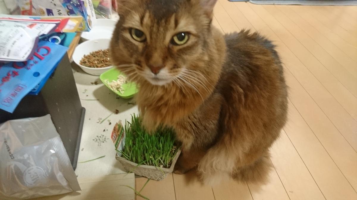 猫草が来たー、チー