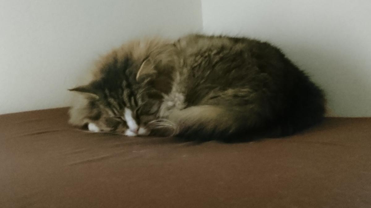 さっきまで運動会だったのに熟睡中の猫、トト