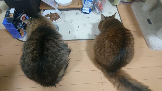 朝ごはんを食べる猫、トトとチー