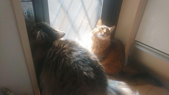 勝手口ででまちの猫、トトとチー