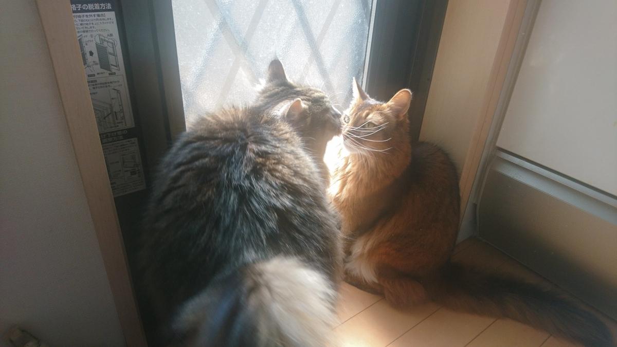 散歩を強要する猫、トトとチー