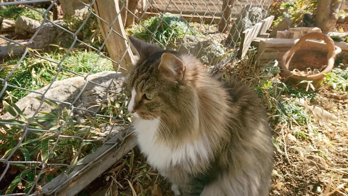 猫草を探す猫、トト