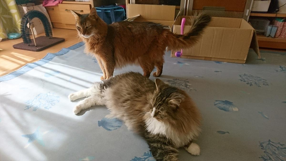 二匹でじゃれあう猫、トトとチー
