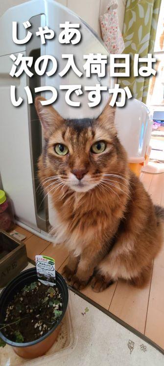 次の入荷日を確認する猫、チー