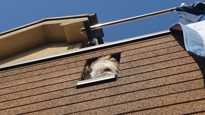 ベランダから顔を出す猫、トト