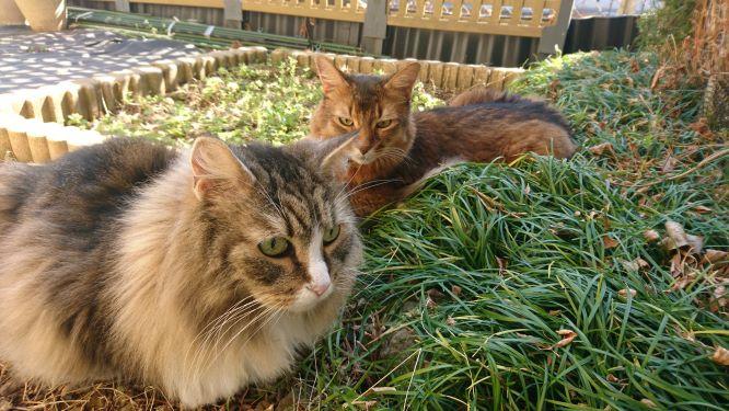 お庭で散歩を楽しむ猫、トトとチー