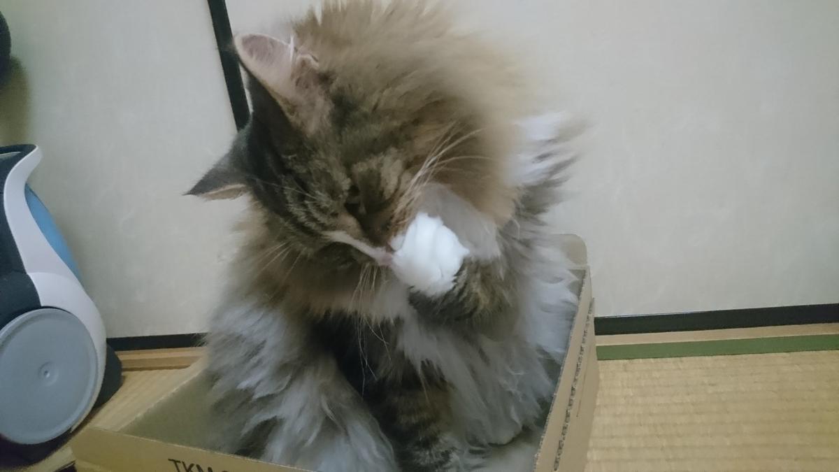 お手々をぺろぺろする猫、トト