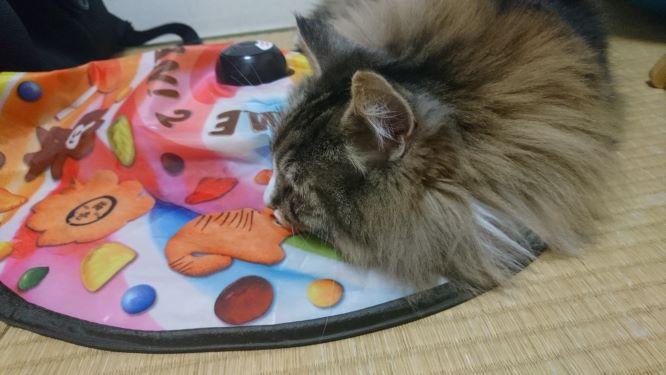 キャッチミーから離れない猫、トト