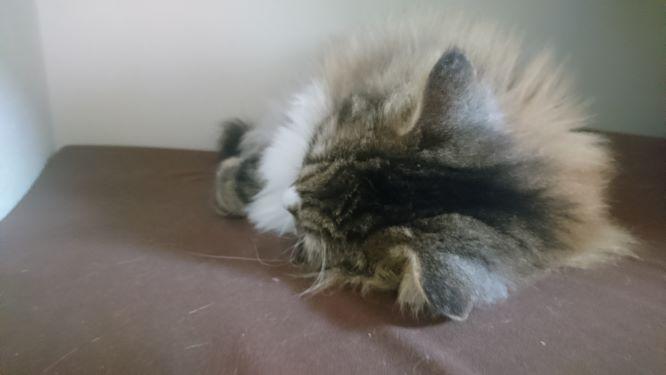 ふて寝を決め込む猫、トト