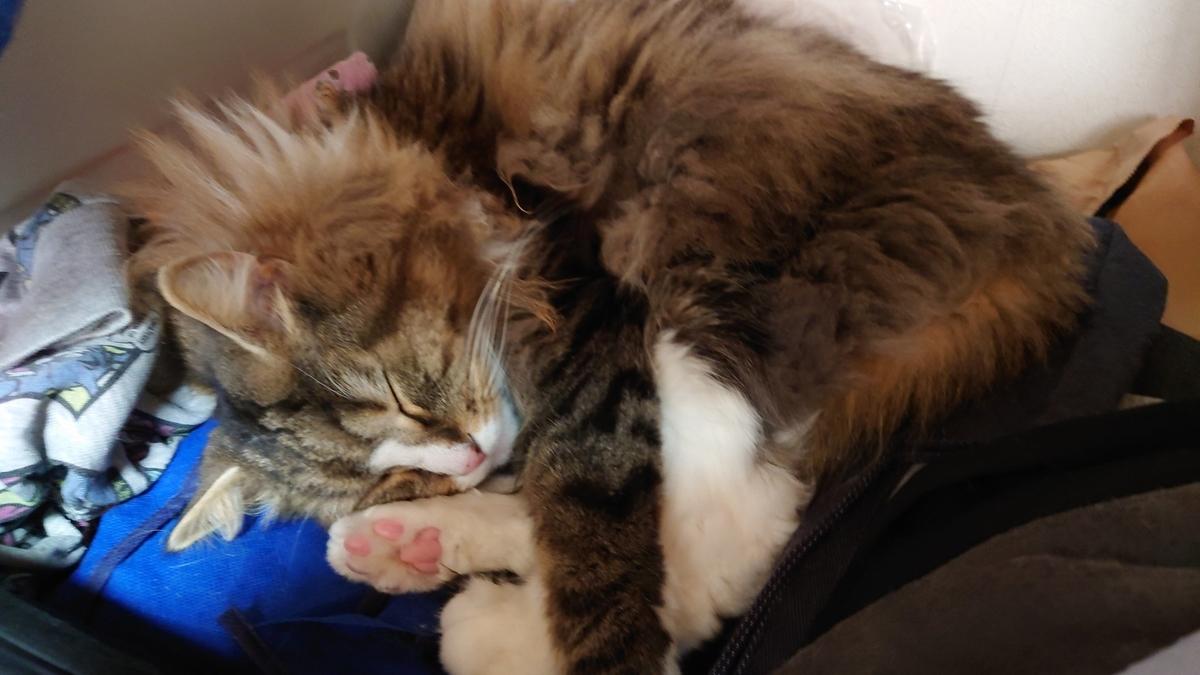 足を負傷して安静にしている猫、トト