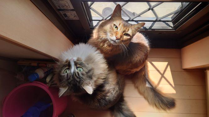 お散歩を要求する猫、トトとチー