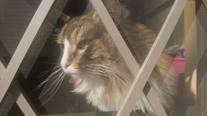 散歩でおくれた猫、トト