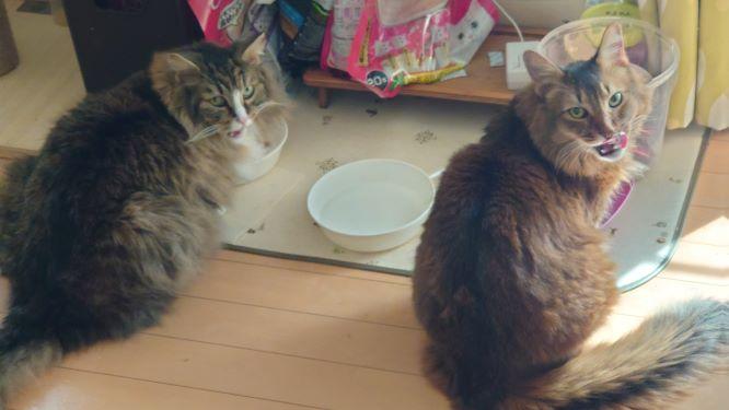 おやつを一緒食べる猫、トトとチー