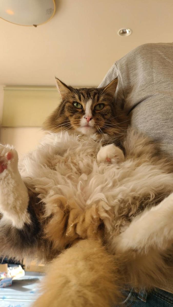 抱っこされて気持ちよさそうな猫、トト