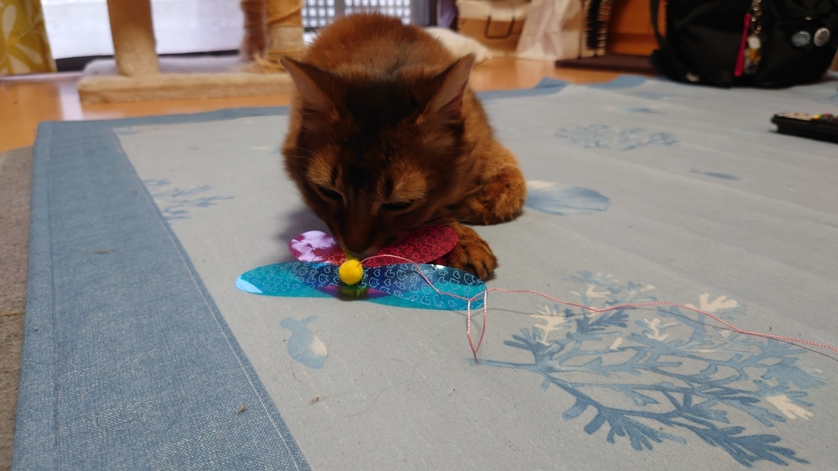 猫じゃらしで遊ぶ猫、チー
