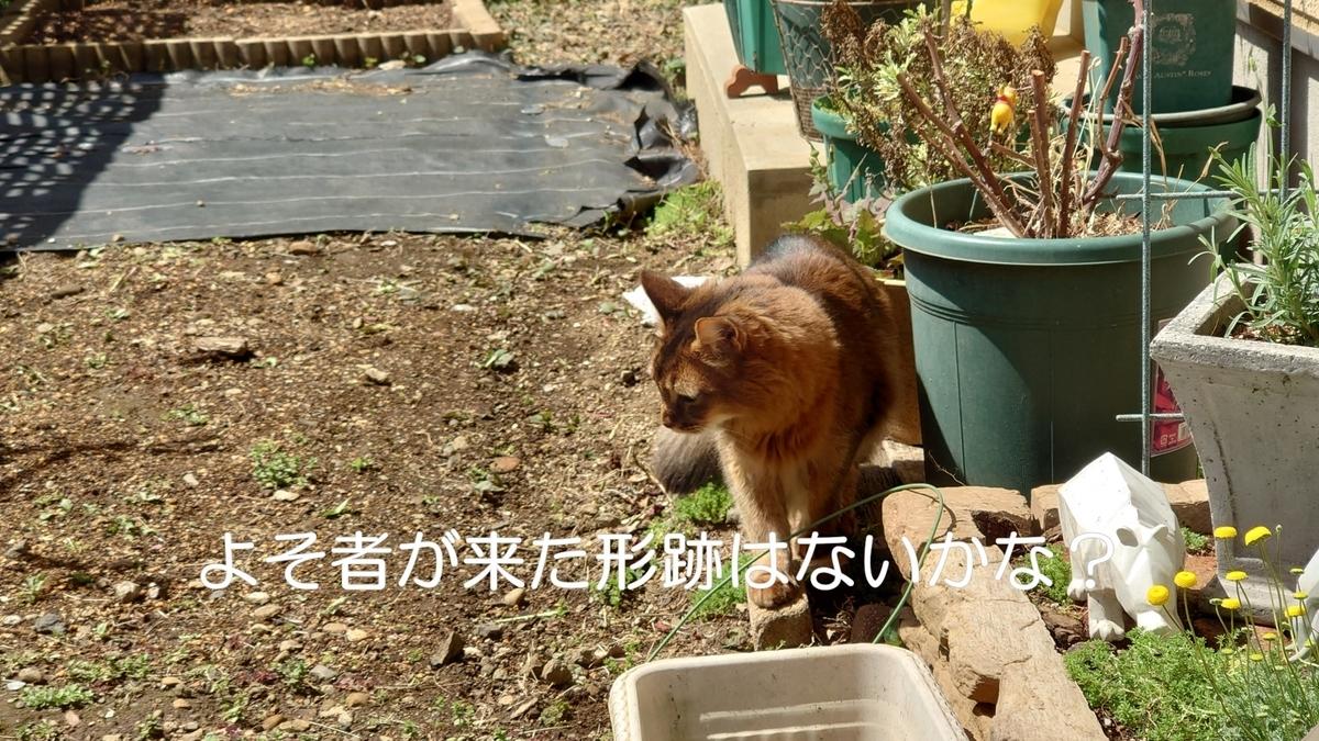 庭をパトロール中の猫、チー