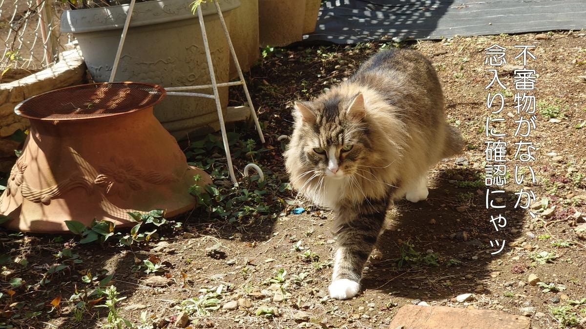 庭をパトロールする猫、トト